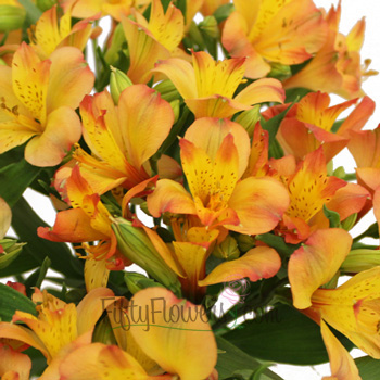 Kiss of Orange Yellow Peruvian Lily Flower