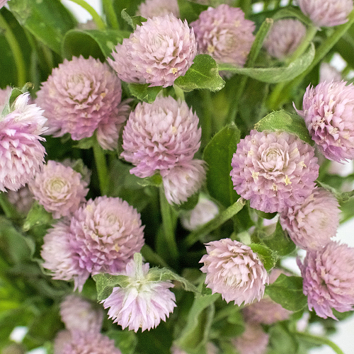 Pinky Lavender Gomphrena Fresh Flowers