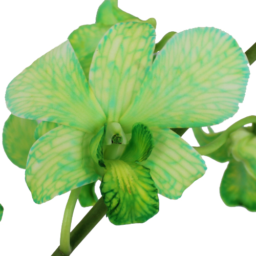 Green Dendrobium Loose Orchid Blooms