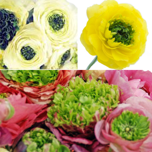 Green Center Assorted Colors Ranunculus Flower