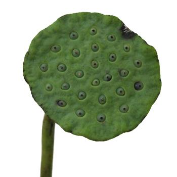 Fresh Lotus Pods