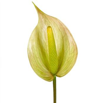 Green Tea Designer Anthurium Flower