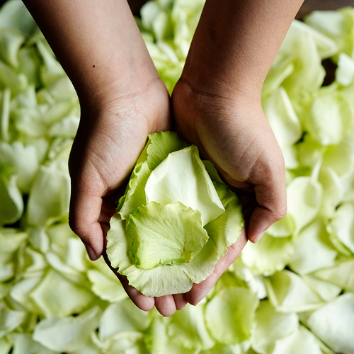 Green Rose Petals Wholesale