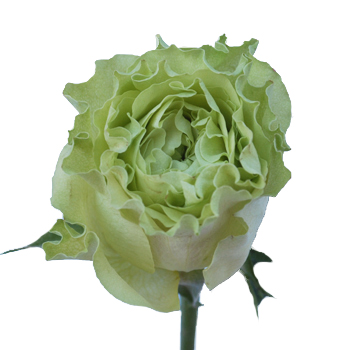 Green Rose Supergreen