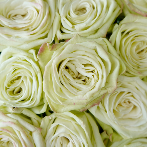 Green Tea Bulk Rose