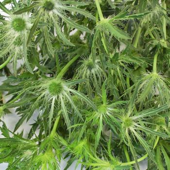 Thistle Green Flower