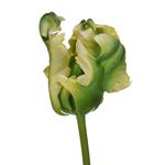 Bulk Red French Tulip flower