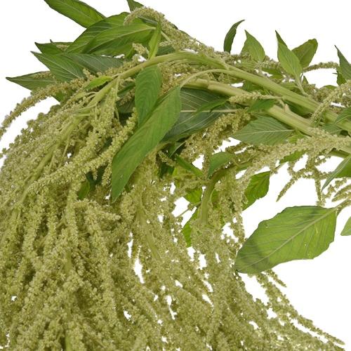 Green Hanging Amaranthus Bulk Fall Greens