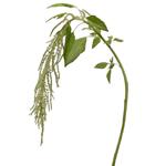 Bulk Greens Green Hanging Amaranthus