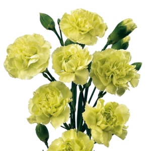 Green Mini Carnation Flowers