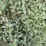 Gunnii Eucalyptus Greens