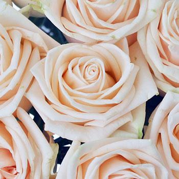 Classic Peach Garden Rose