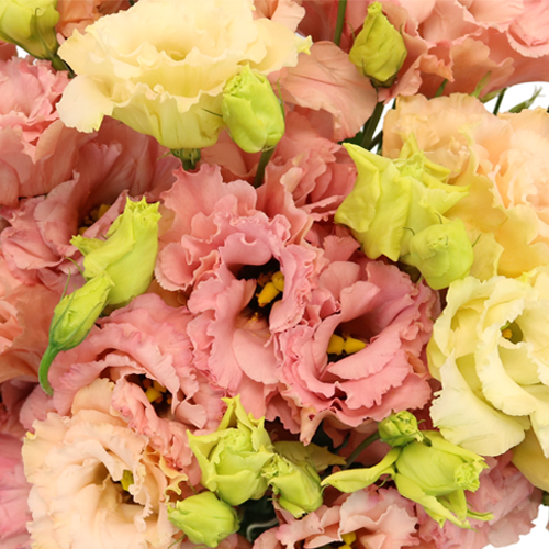 Strawberry Milkshake Lisianthus Flower for June to September Delivery