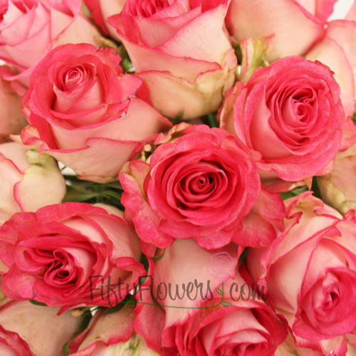 High Candy Pink and White Rose