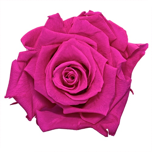 Preserved Hot Pink Rose