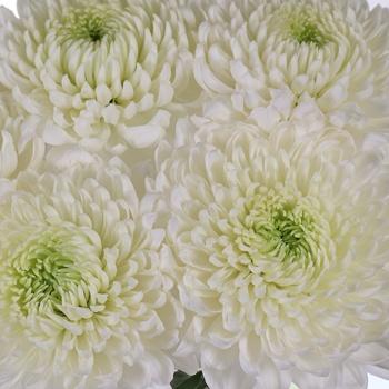 Misty White Bahlia Flower