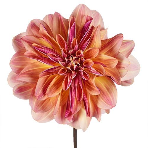 Heartbreaker Dahlia Flower