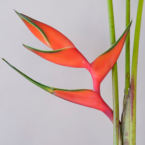 Deep Orange Heliconia