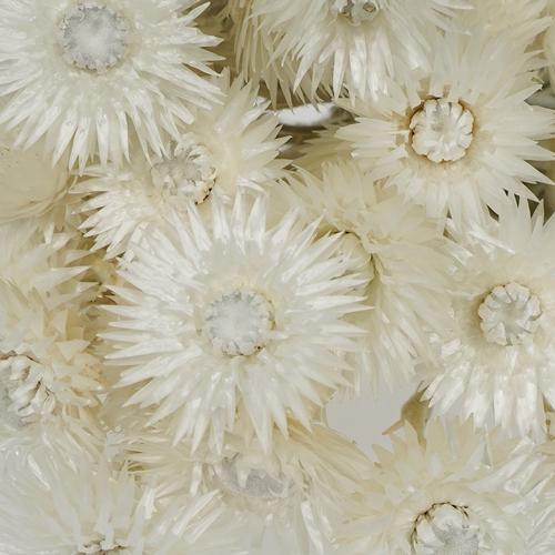 Dried Straw Flower