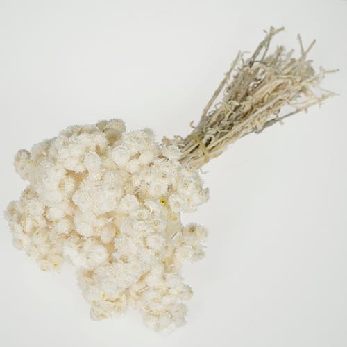 Bleached Italian Straw Flower