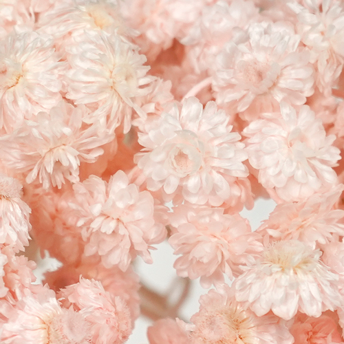 Blush Italian Straw Flower