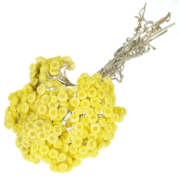 Yellow Italian Straw Flower