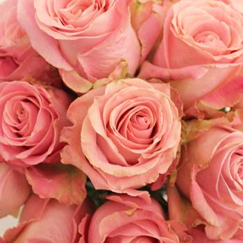 Hermosa Pink Rose