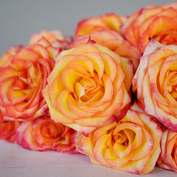 Valentine\\\'s Yellow with Red Edge Rose Special