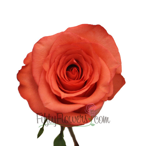High and Blooming Coral Bulk Rose