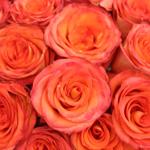Peach Rose Azafran
