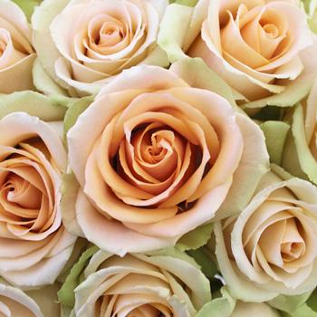 High Arena Creamy Peach Rose