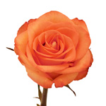 Orange Rose Exotica