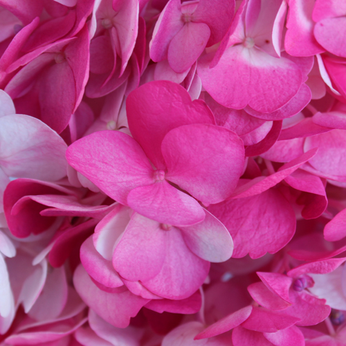 Highlighter Pink Airbrushed Hydrangea