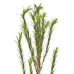 Single stem of fresh cut greenery honey bracelet filler flowers