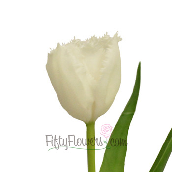 White Fringed Novelty Tulips