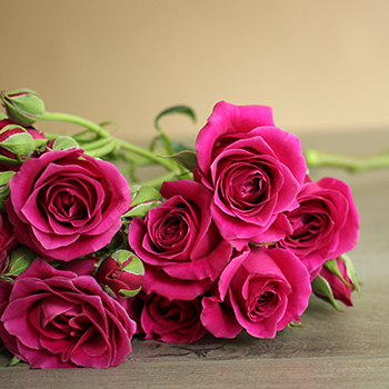 Mulberry Pink Spray Roses