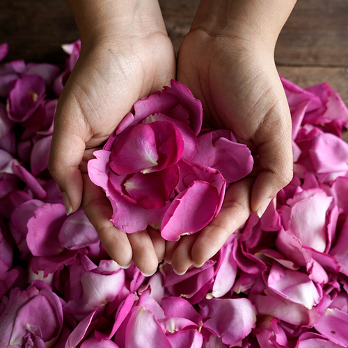 Magenta Garden Rose Petals