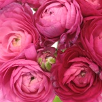 Watermelon Pink Ranunculus Fresh Cut Flower