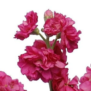 Hot Pink Bulk Spray Stock Flower