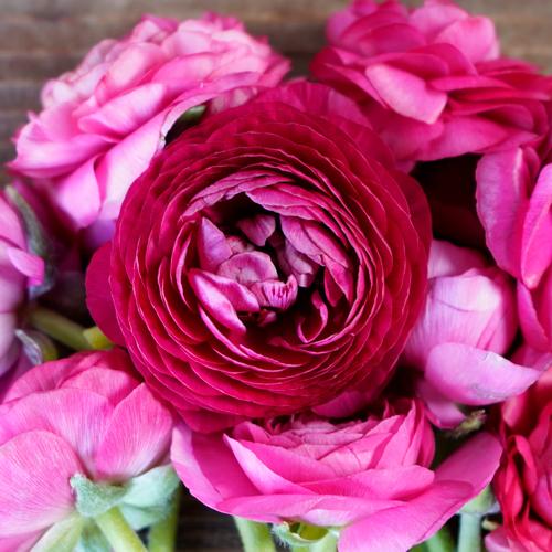 Watermelon Pink Ranunculus Fresh Cut Flower