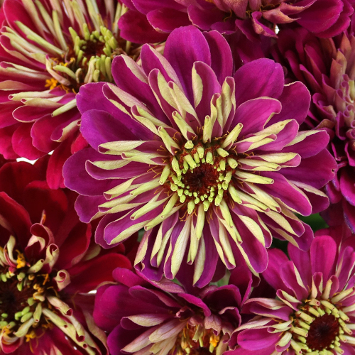 Shades of Hot Pink Zinnia