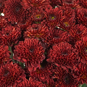 Cancun Mini Button Pom Red Flower