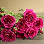 Hot Majolika hot pink Roses up close