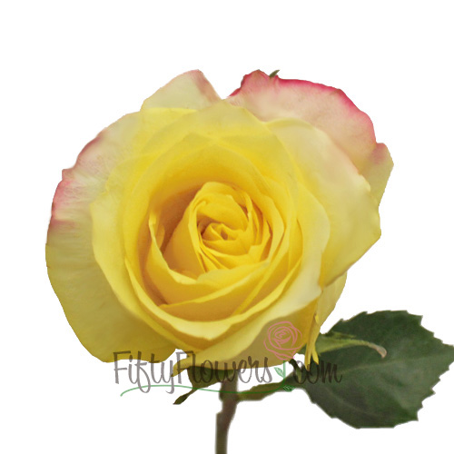 Hot Merengue Lemon Rose