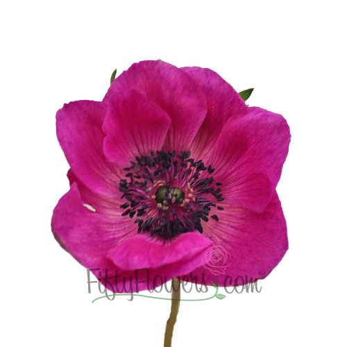 Hot Pink Fresh Cut Anemones