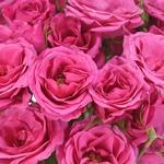 Dark Pink Bulk Spray Roses