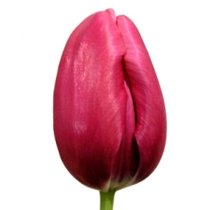 Tulips French Pink Flower
