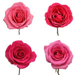 Hot Pink Bulk Roses