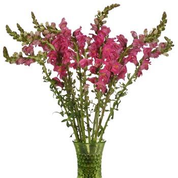 Snapdragon Hot Pink Flower