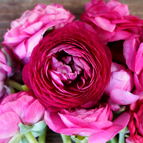 Hot Pink Ranunculus Wholesale Flower Upclose